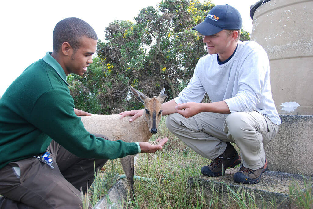 Connect-123 Wildlife intern in Cape Town with conservation expert feeding Duiker antelope
